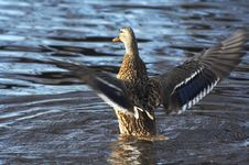Wild Duck On The Lake Stock Images