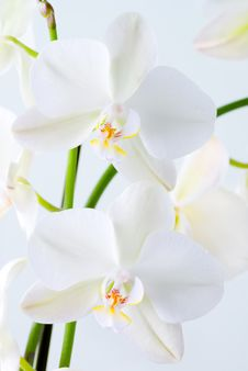 Free Bright Orchid. Stock Photos - 4934893