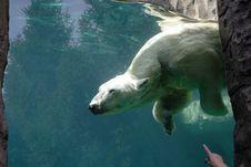 Free Bear In Captivity Royalty Free Stock Image - 4935736
