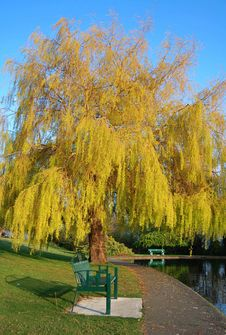 Free Willow And Bench Royalty Free Stock Images - 4935919