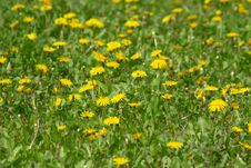 Free Yellow Dandelions Royalty Free Stock Images - 4937009