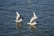 Free Seagulls Are Swimming Stock Photography - 4937242