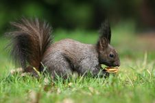 Free Squirrel Lunch Royalty Free Stock Photo - 4937245