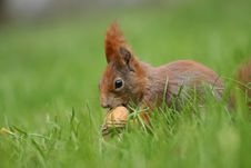Free Red Squirrel Stock Image - 4937251