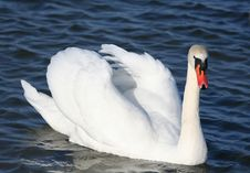 Free Graceful White Swan On A Water Royalty Free Stock Photo - 4937255