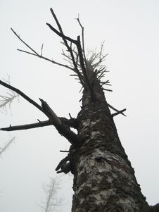Free Pine Stock Image - 4938211
