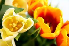 Free Tulips Stock Photos - 4938533