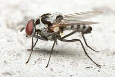 House Fly Side View Royalty Free Stock Photos