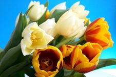 Free Tulips Stock Images - 4938624