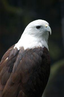 An Eagle Stock Image