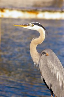 Free Great Blue Heron Stock Photography - 4938832