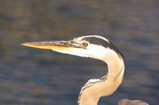 Free Great Blue Heron Royalty Free Stock Photo - 4938895