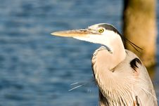 Free Great Blue Heron Royalty Free Stock Photo - 4938905
