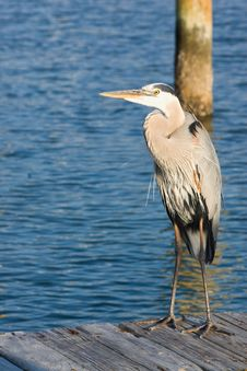 Free Heron On A Pier Royalty Free Stock Photos - 4939008