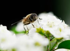 Free Bee Royalty Free Stock Image - 4939886