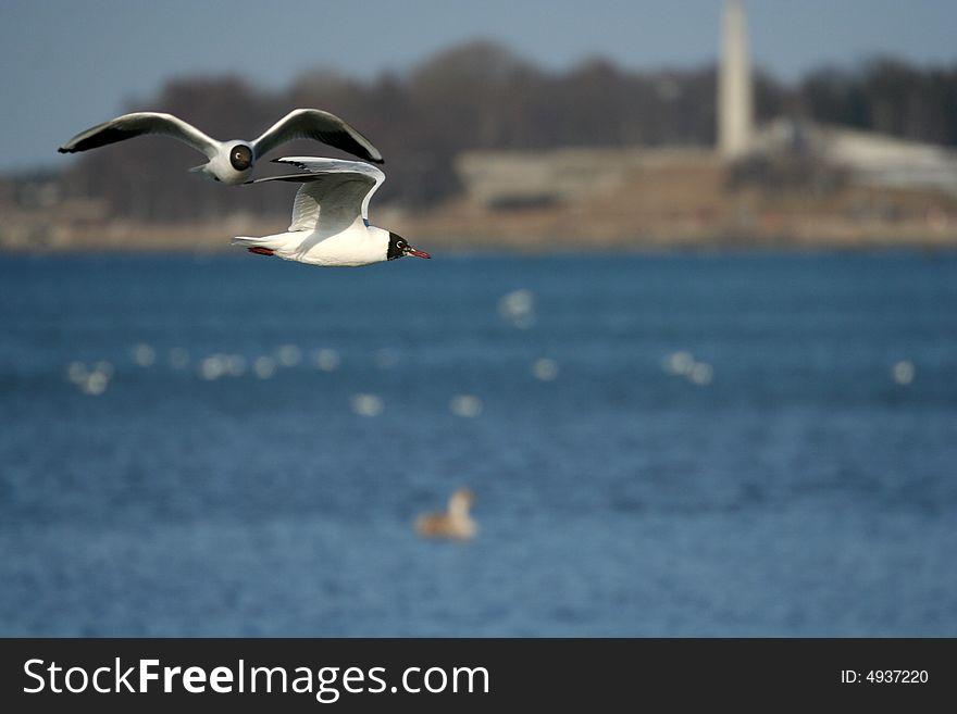 Seagull is in flight