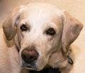 Free Labrador Retriever Royalty Free Stock Images - 49324639