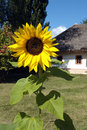 Free Rural Landscape With Sunflower. Stock Photography - 4941902
