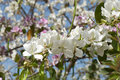 Free Blossoming Tree Stock Image - 4945121