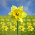 Free Yellow Jonquil Stock Photo - 4946290