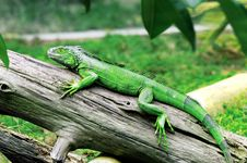Free The Lizard On The Wood Royalty Free Stock Images - 4940119