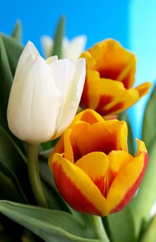 Free Tulips Stock Images - 4940424