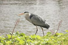 Free Grey Heron Stock Photo - 4940520