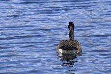 Free Canadian Goose Stock Image - 4941671