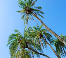 Free Palm Trees Growing At A Right Angle Stock Photo - 4941760