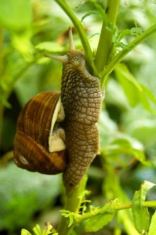 Snail On The Branch Stock Images