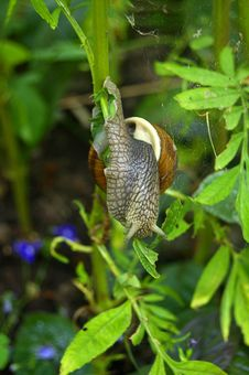 Snail On The Branch Royalty Free Stock Photo