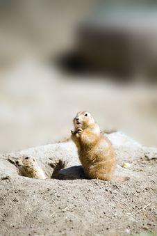 Free Prairie Dog Sitting Up Stock Image - 4944211