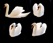 Isolated Swans Royalty Free Stock Photo