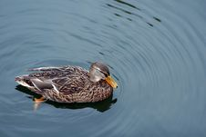 Free Female Mallard Royalty Free Stock Photos - 4944268