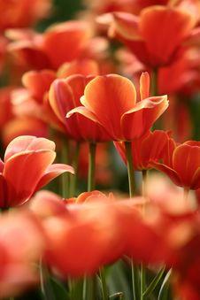 Free Orange Tulips Stock Photo - 4944720