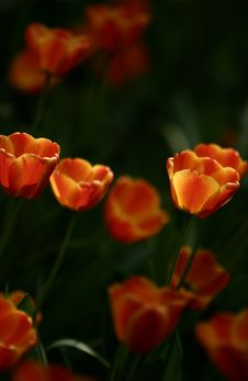 Free Orange Tulips Royalty Free Stock Photos - 4944798