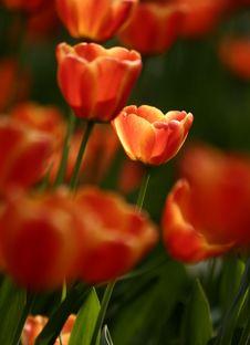 Free Orange Tulips Royalty Free Stock Photography - 4944847