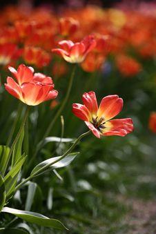 Free Orange Tulips Royalty Free Stock Photos - 4944908