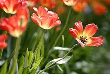 Free Orange Tulips Stock Photography - 4944932