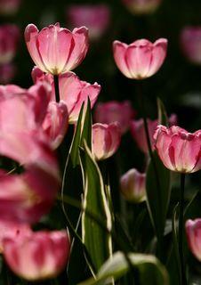 Free Pink Tulips Royalty Free Stock Photo - 4945015