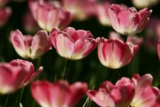 Free Pink Tulips Stock Photography - 4945272
