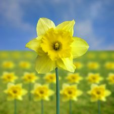 Free Yellow Jonquil Stock Photo - 4946290