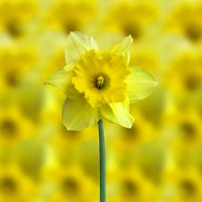 Free Yellow Jonquil Stock Image - 4946341