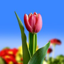 Free Red Tulip Royalty Free Stock Photography - 4946367