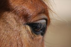 Free Eye And Eyelash Horses Royalty Free Stock Photo - 4946775