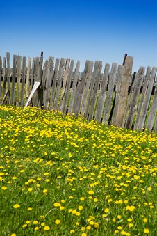 Wooden Fence And Yellow Dandelions Stock Photos
