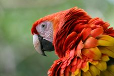 Free Scarlet Macaw With Ruffled Feathers Royalty Free Stock Photography - 4948227