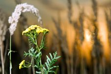 Free Tansy At Sunset Royalty Free Stock Photos - 4948368