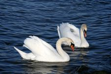 Free Graceful Couple Of White Swans Royalty Free Stock Photos - 4948818