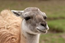 Free Head Of The Llama Stock Photo - 4949060